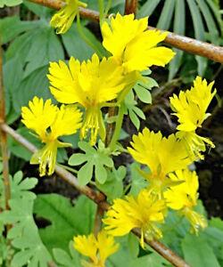 Kanarische Kapuzinerkresse Samen, Tropaeolum peregrinum, tolle Blüte