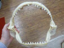 "(sj30-130B) 13"" BULL SHARK jaw sharks B grade jaws teeth taxidermy ichthyology"
