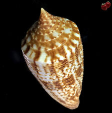 Conus australis australis, East China Sea, 83,5 mm, THE BEST QUALITY, TRAWLED