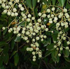 BLUSH SATINASH Acmena hemilampra native rainforest plant in 140mm pot