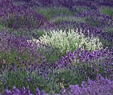 MOST FRAGRANT! 30+  PURPLE AND WHITE LAVENDER MIX FLOWER SEEDS / PERENNIAL