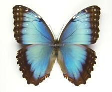 Unmounted Butterfly/Morphidae - Morpho helenor peleides, FEMALE, Colombia