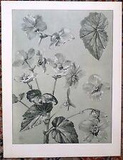 Chromolithographie de Mathurin Méheut, fleur, botanique
