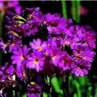 Primula - Rosea Grandiflora - 50 Seeds