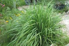 Lemon Grass 50 seeds Herb garden Culinary essential oil lemongrass