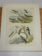 1878 Antique Studer Color Bird Print/Oriole,Finch,Woodpe cker,Titmouse,Blue Crow