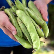BROAD BEAN 'Aquadulce' 15+ Seeds HEIRLOOM vegetable garden BUSH open-pollinated
