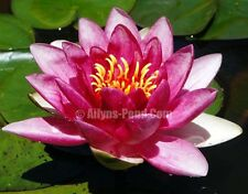 Attraction Red Adult Size Hardy Water Lily Ailyns-Pond Live Pond Plants