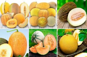 Seeds Melon Honeydew Cantaloupe Mix Black Pink Sweet Rare Organic Heirloom