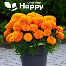 AFRICAN MARIGOLD - TALL F1 ORANGE - 15 seeds - Natural pigment production