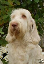 Italian Spinone A6 Blank Card No 6 By Starprint