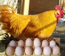 12 Bonus Shades Of Brown Fresh Fertile Free Range Chicken Hatching Eggs