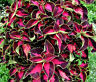 COLEUS CHOCOLATE COVERED CHERRY Solenostemon Scutellarioides - 40 Bulk Seeds