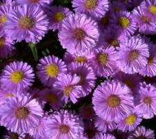 Autumn Aster Perennial Flowers & Plants