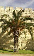 20 Jerusalem Palm Dates Seeds Organic Biblical Tree  From Israel Ornamental  תמר