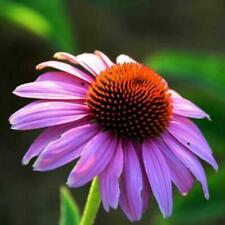 200Pcs Heirloom Dark Knight Purple Echinacea Coneflower Seeds Perennial Flo J0M3