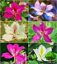 Bonsai Mixed Bauhinia Flower 30 Seeds,WHITE,PINK,PURPLE Orchid Flower Seeds
