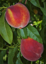 PEACH FRUIT TREES LIVE PLANTS SWEET EDIBLE LANDSCAPING STARTER SEEDLING SAPLING