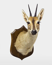 TAXIDERMY COMMON DUIKER deer taxidermie stuffed head mount
