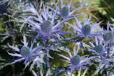 Eryngium - Sea Holly - SEED X 50 - Hardy Perennial Bee Friendly!