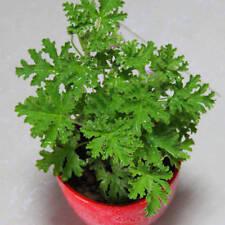 100pc Citronella Plant seeds Mozzie buster plant mosquito repellent plant