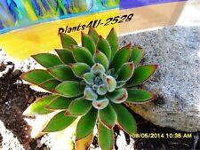 Garden Succulents Echeveria setosa Established Roots