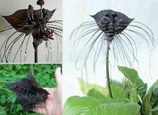 Fledermaus-Blume exotische Pflanzen für die Wohnung drinnen Zimmerpflanze Samen
