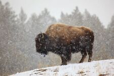 Bison in Snow by Jason Savage American Buffalo Print Poster