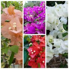 80Pcs Bougainvillea Flowers Seeds Rare 10 Kinds Beautiful Fragrant Garden Plants