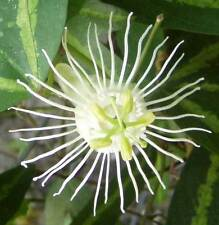 Passiflora tricuspis | 20_Seeds FREE SHIPPING