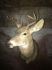 Large 8 Point White Tail Buck