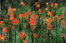 "Kniphofia uvaria ""Torch Lily "" x 10 seeds"