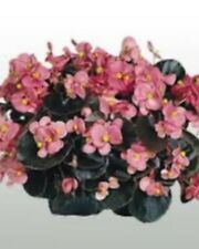 Begonia Cocktail Gin Bronze Leaf 5 Live Plants Plugs Garden Diy Planters