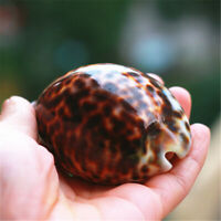 "1 Piece Spotted Conch Shell 7-8cm Tiger Cowrie Shells Ornament Decor 2.7"" - 3.2"""