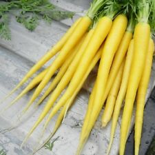 Solar Yellow Carrot 100, 300, 1000, 2000 Seeds Heirloom colorful Beautiful rare