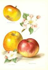 1894 Antiguo cromolitografía manzanas Pontoise Pippin braddicks Nonpareil (41/2