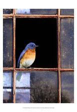 Bluebird Window ists Art Poster Print by Chris Vest, 13x19