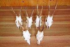 6 schöne Rehgehörne  Roe Deer Trophies