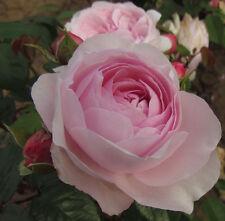 OLIVIA ROSE AUSTIN - 5.5lt Potted David Austin Shrub Garden Rose - Pale Pink