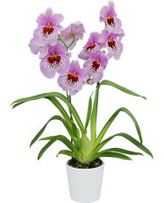 fragrant orchid,Miltoniopsis, Eternity, or Pansy Orchid plant
