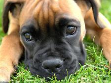 Lindo Boxer Puppy-Perros-Calidad Mouse Mat / Pad