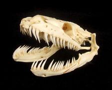 Real Genuine Python Head Skeleton, Taxidermy 105mm x 50mm (T002)