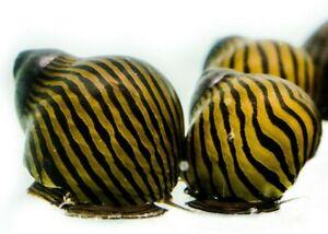 2 x Zebra Nerite snails, Fresh Water Snail