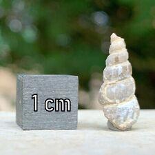 Turritella Fossil Shell Eocene USA - FSE308 ✔100% Genuine ✔UK Seller