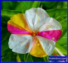 Four O' Clock's -Kaleidoscope Seeds- Beautiful Mixed Colors on the same Flower!