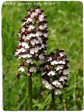 Orchis purpurea 'Lady Orchid'  [Prov. France] 300+ SEEDS