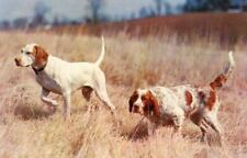 Old Postcard Irish Red & White Setter + Pointer Hunting Game Ahead Usa c1958