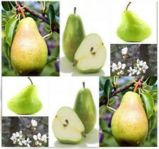 (20) Bartlett Pear Tree Seeds - Pyrus commnuis 'Bartlett' - Combined S&H