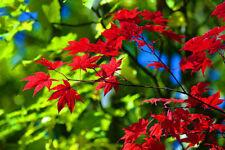 102  Erable Palmé Rouge du Japon 'Acer Palmatum' Red Japanese maple tree seeds