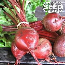 Early Wonder Beet Seeds - 50 SEEDS-SAME DAY SHIPPING